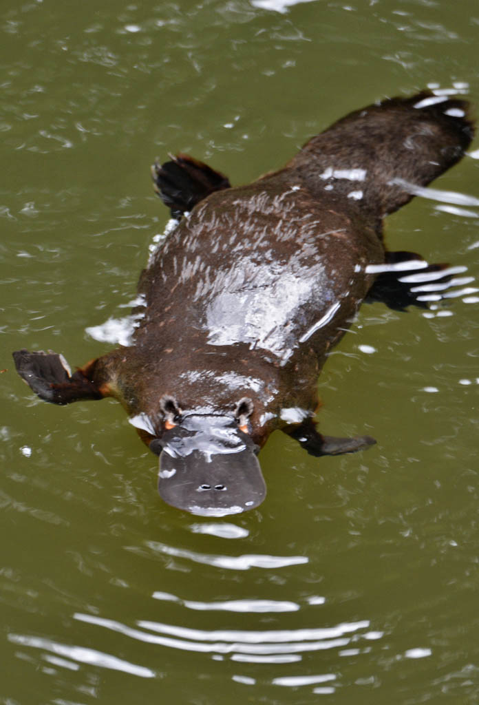 a watchful platypus