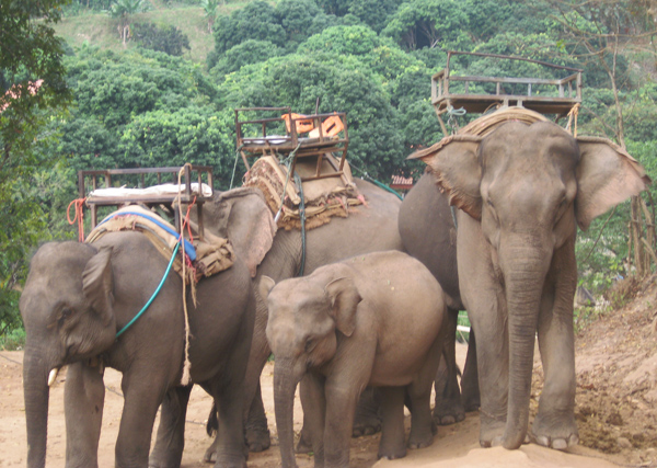 Elephants waiting to take tourists for rides in Thailand.