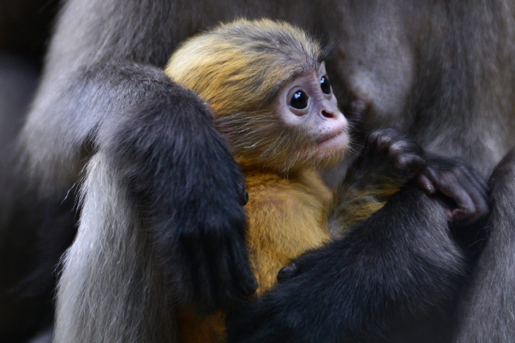 Baby Dusky Monkey Thailand