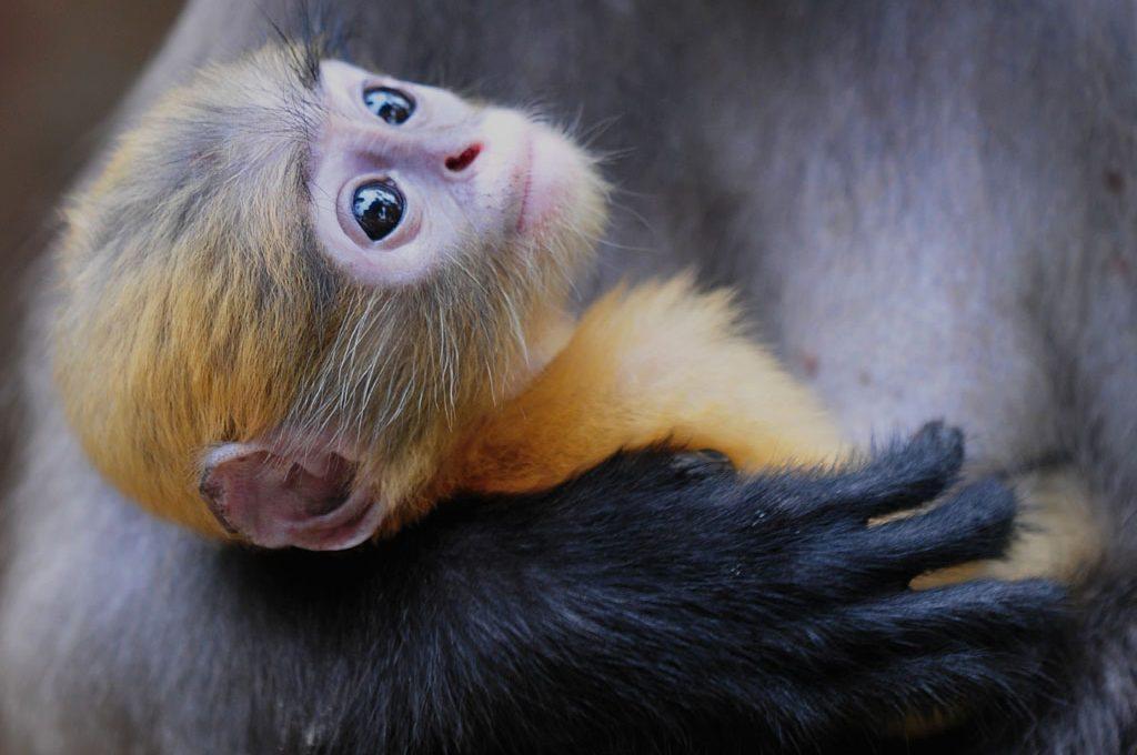 Baby Dusky Monkey