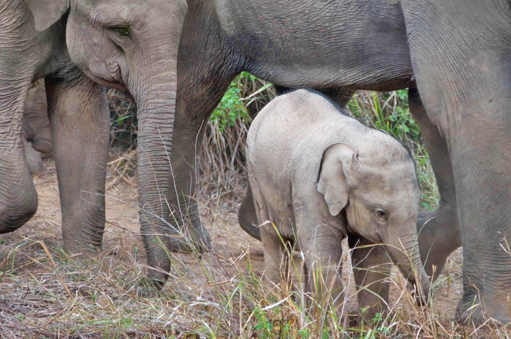 Baby Elephant in protective cocoon of adults at Kuri Buri National Park