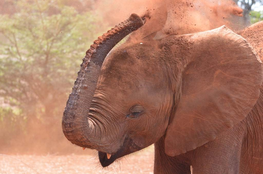 Baby Elephant orphan plays in the red dirt at Nairobi Elephant Orphanage