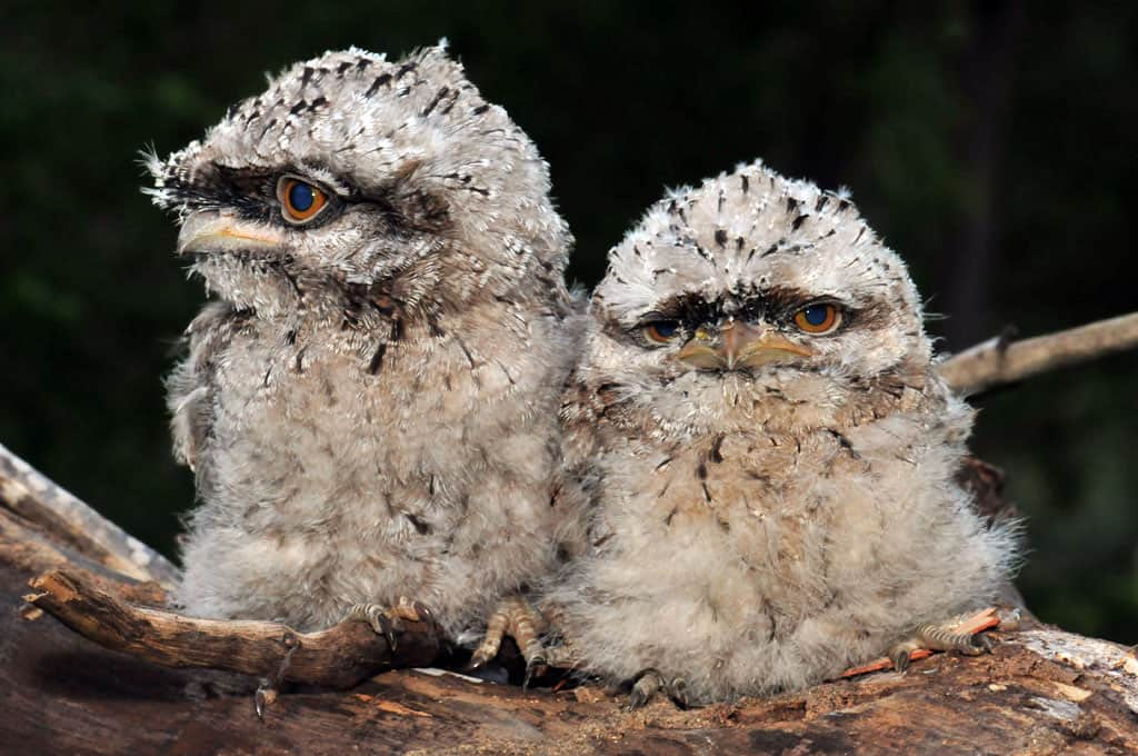 Baby Frogmouth chicks