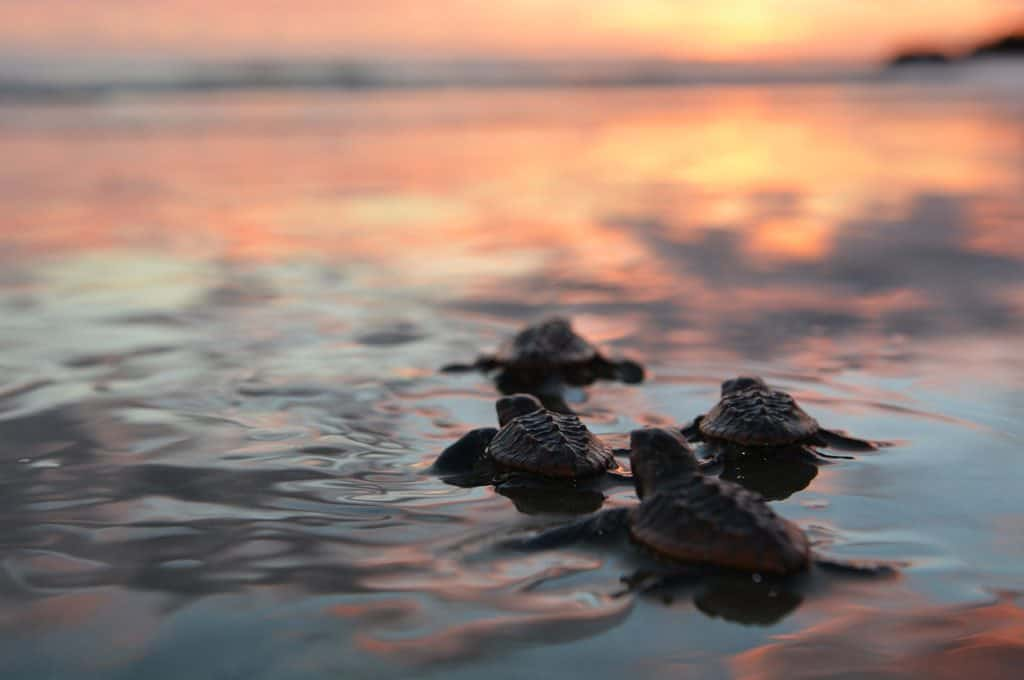 Baby Loggerhead Turtles make their first journey