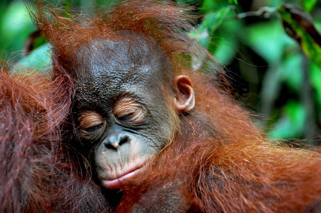 Baby Orangutan Gam sleeping