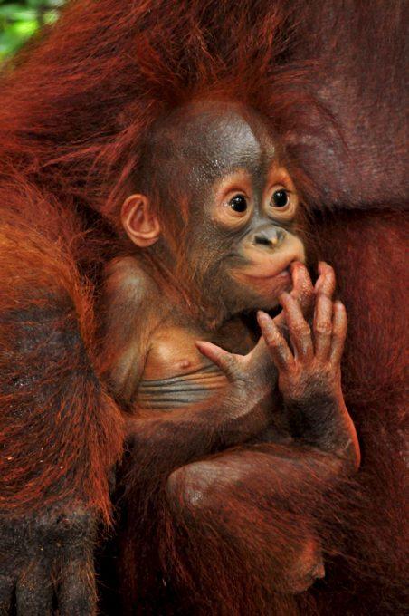Baby Orangutan Ulexa