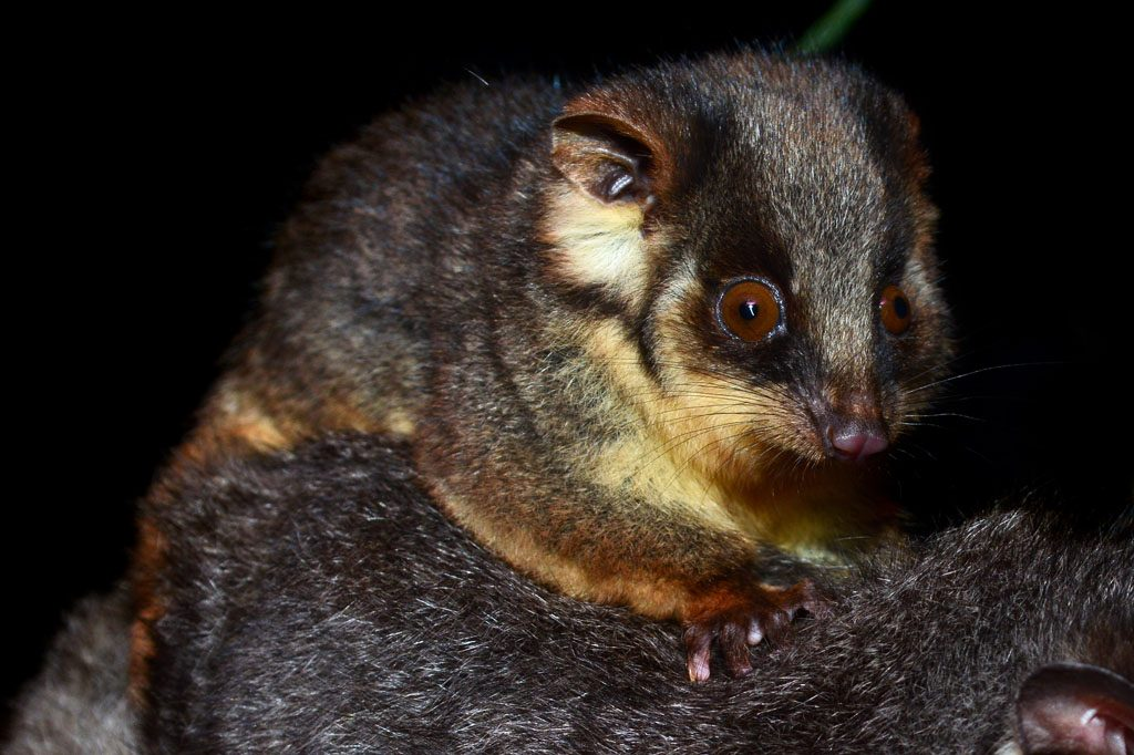 Baby Ringtail Possum Eungella National Park