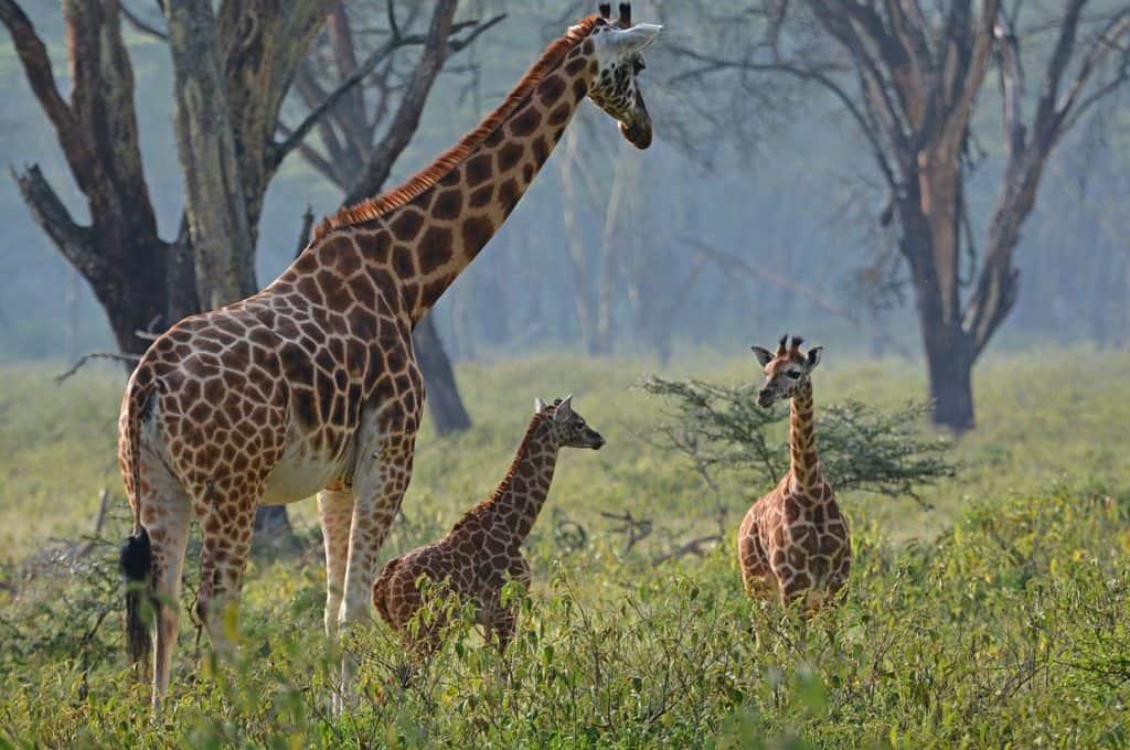 Baby Rothschild Giraffes