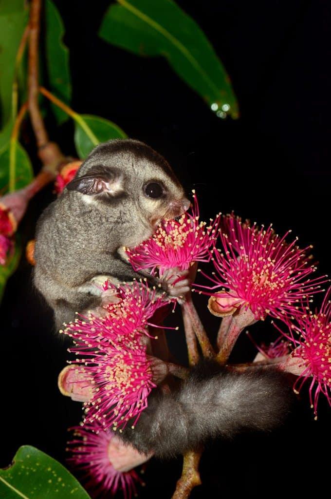 Baby-Sugar-Glider-eating-the-sweet-nectar-from-eucalyptus-flower-e1466315444576.jpg