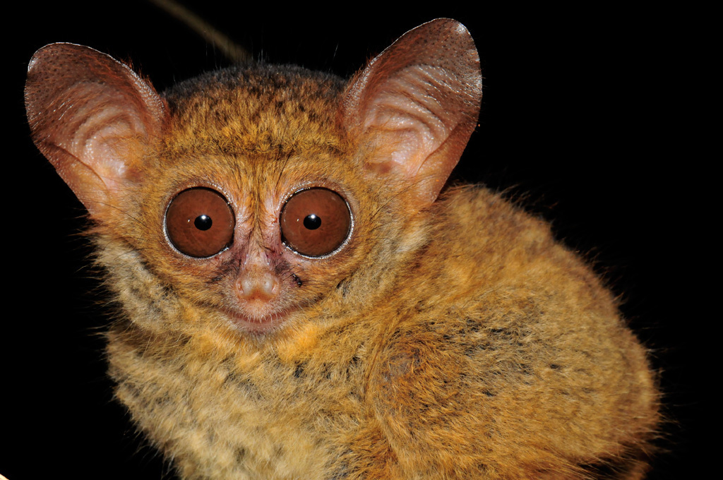 Baby Tarsier about 4 weeks old at Tangkoko National Park