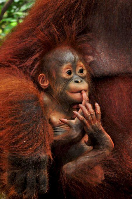 Baby Ulexa Orangutan