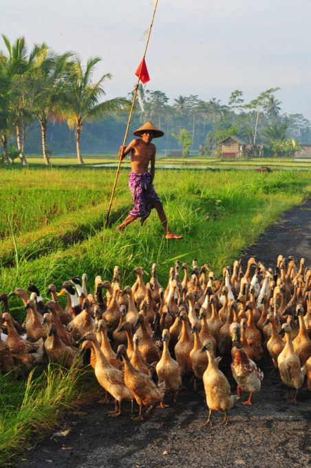 Bali Duck Farmer and his ducks