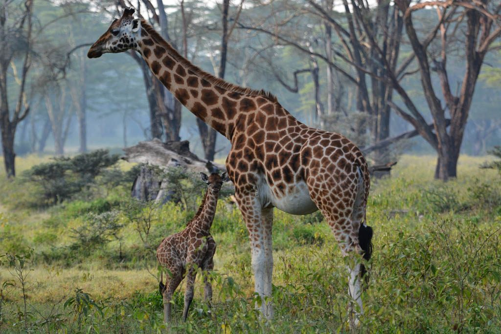 Barely hours old. Newborn Giraffe at Lake Nakuru
