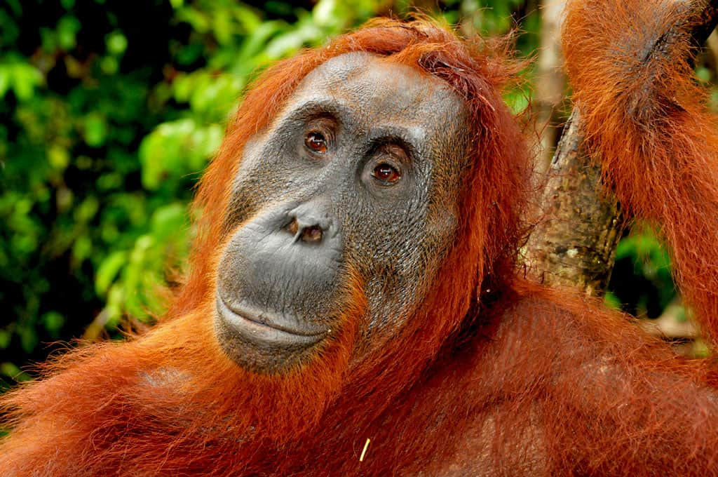 Beautiful Orangutan Akhmad at Camp Leakey Borneo