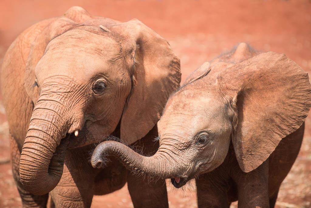 Best friends at Nairobi Elephant Orphanage