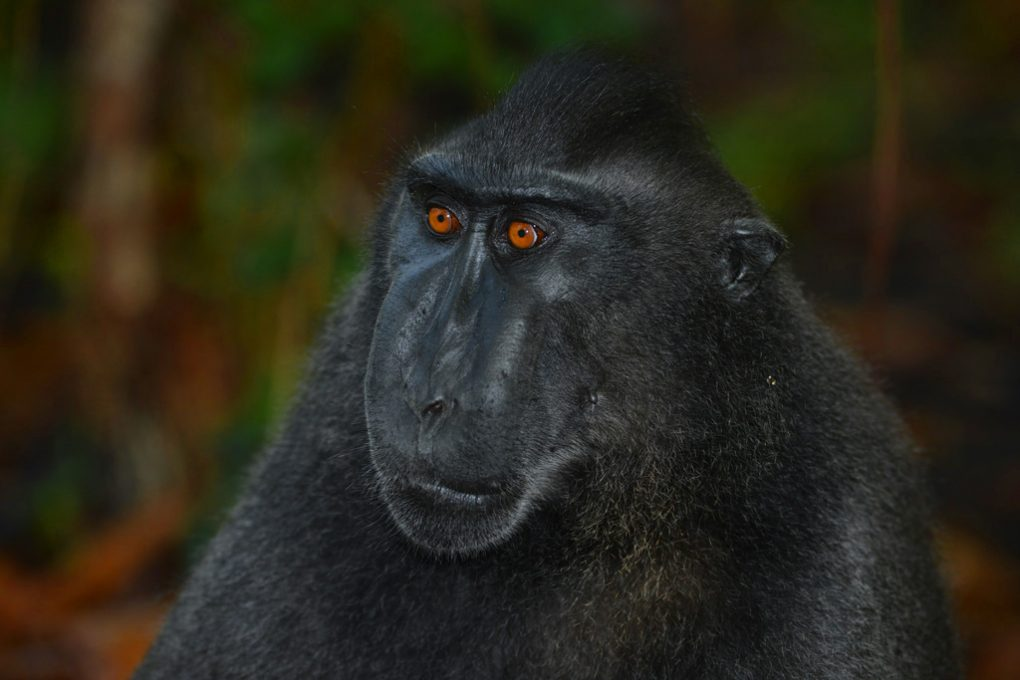 Black Macaque
