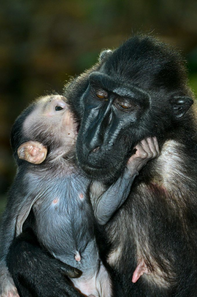 Black Macaque and baby share a tender moment