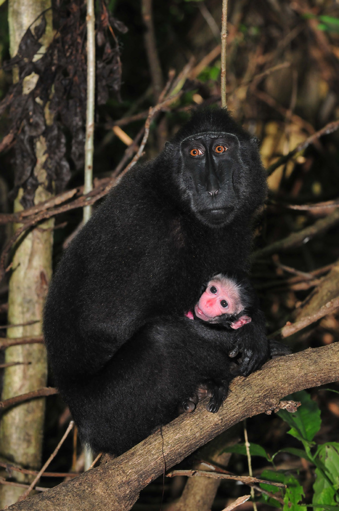 Black Macaque and her newborn baby