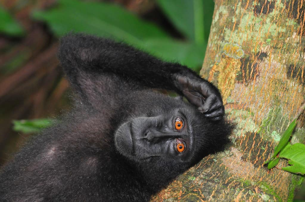 Black Macaque at Tangkoko National Park