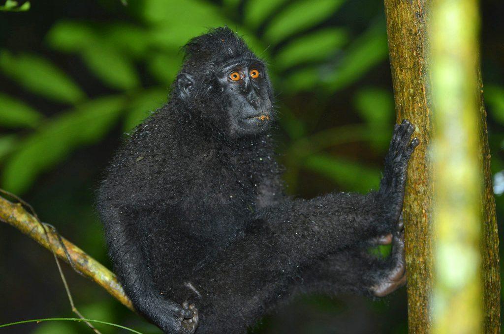 Black Macaque at Tangkoko
