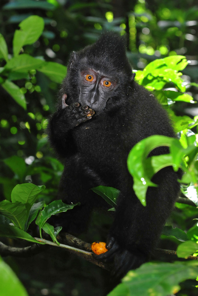 Black Macaque eating rainforest fruits
