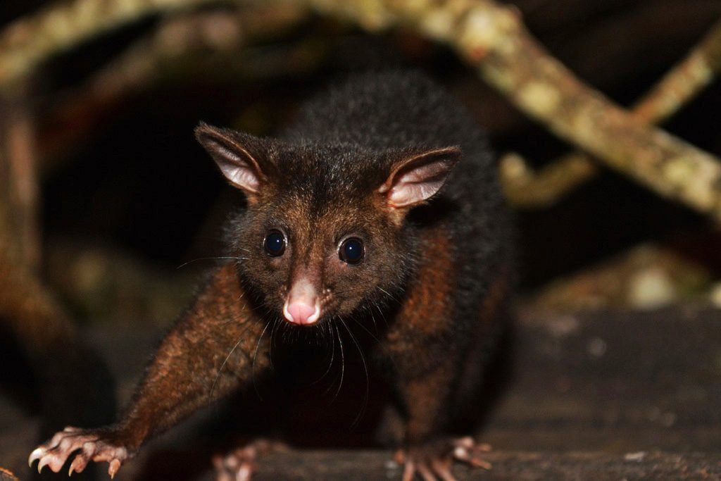 Brushtail Possum at Eungella National Park