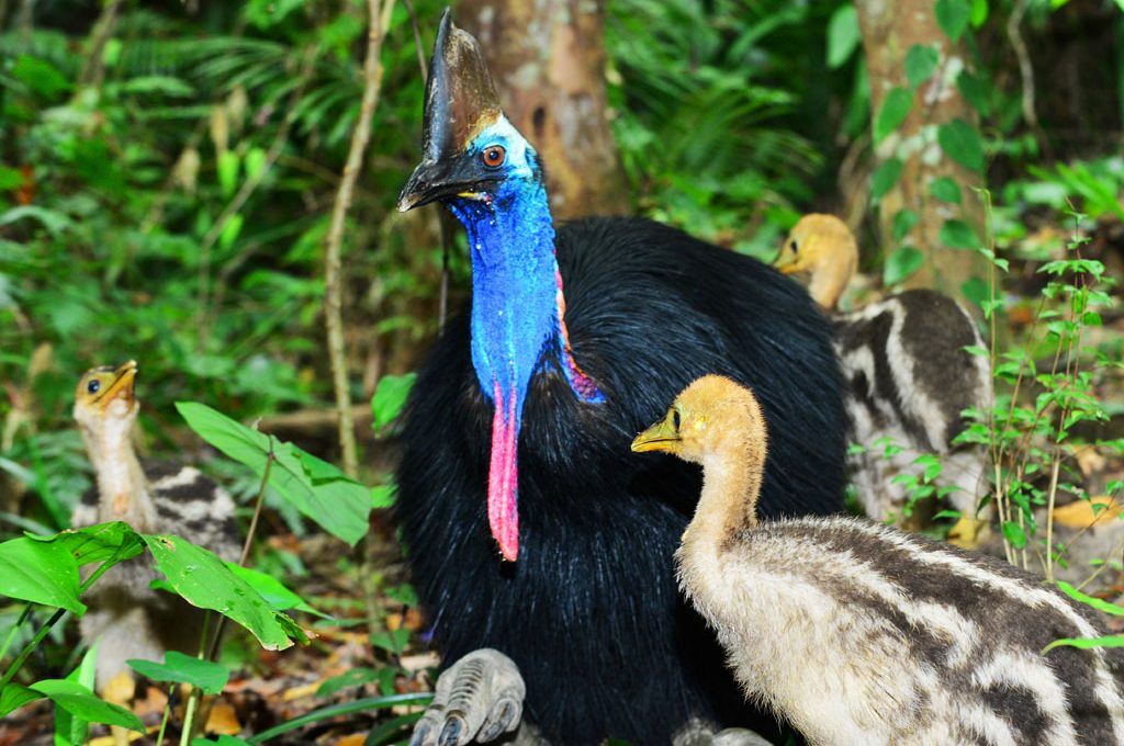 Cassowary and his 3 chicks at Kuranda