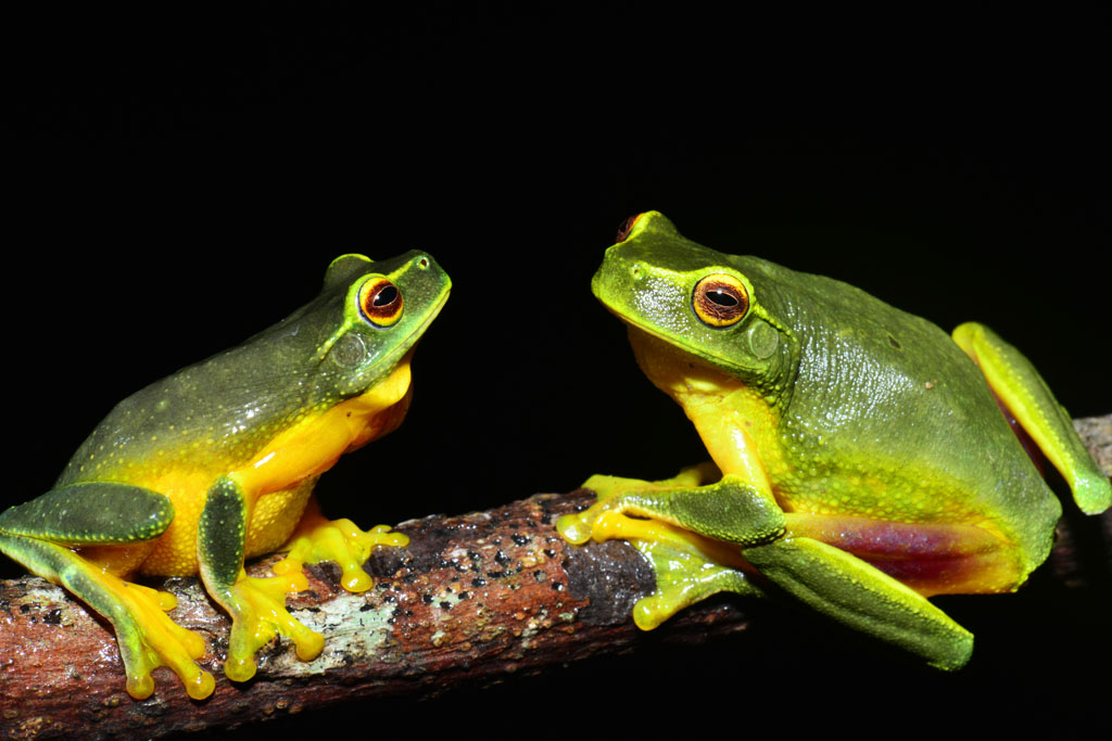 Courting Dainty Green Tree Frogs