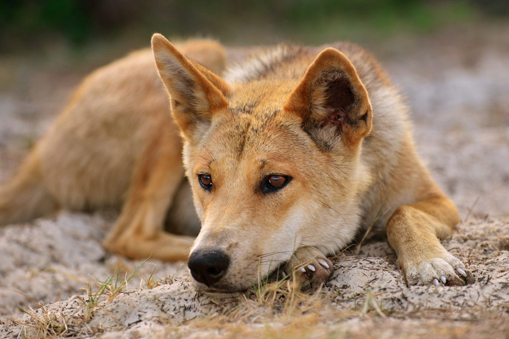 Dingo relaxes on Fraser Island
