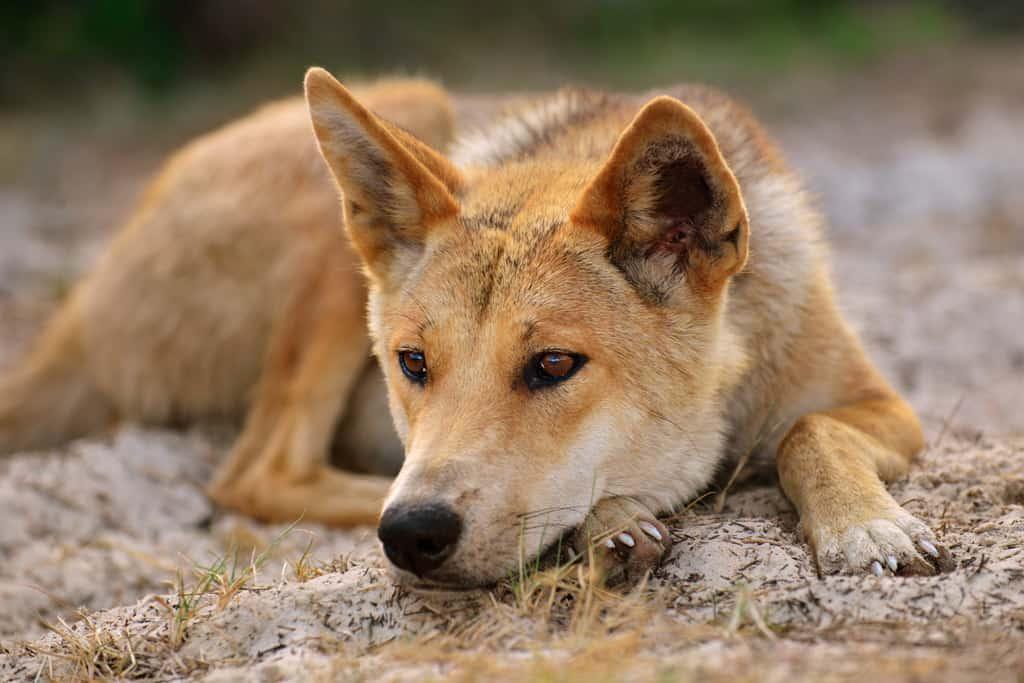 Dingo relaxes on Fraser Island