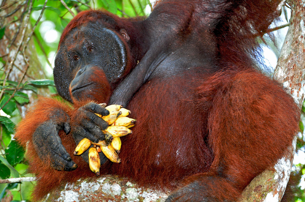 Doyok the dominant male orangutan