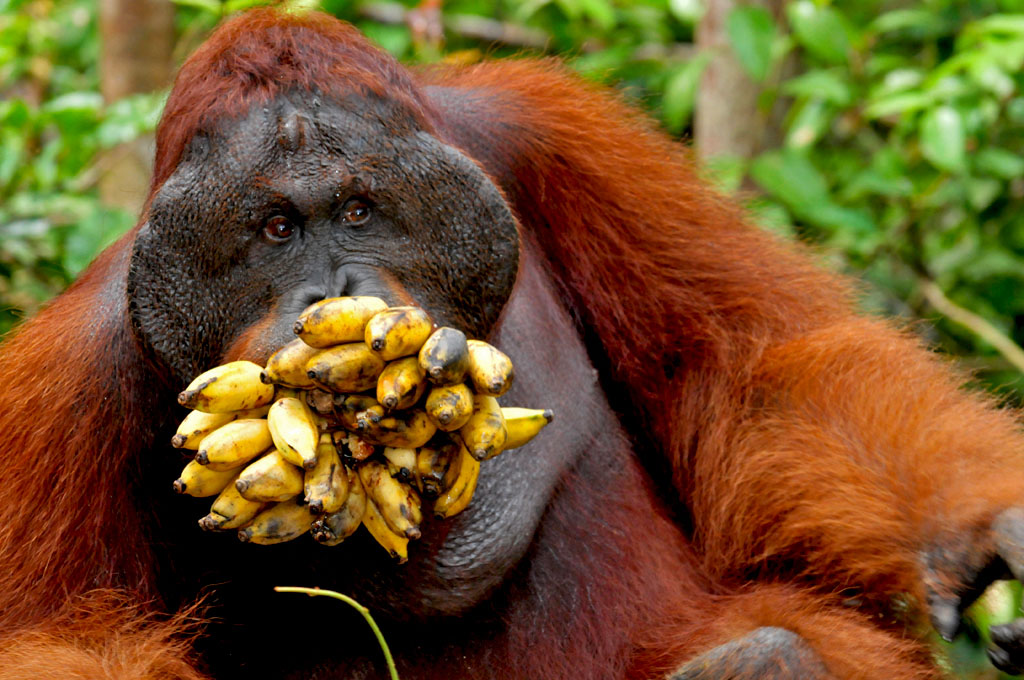 Doyok the lead dominant orangutan