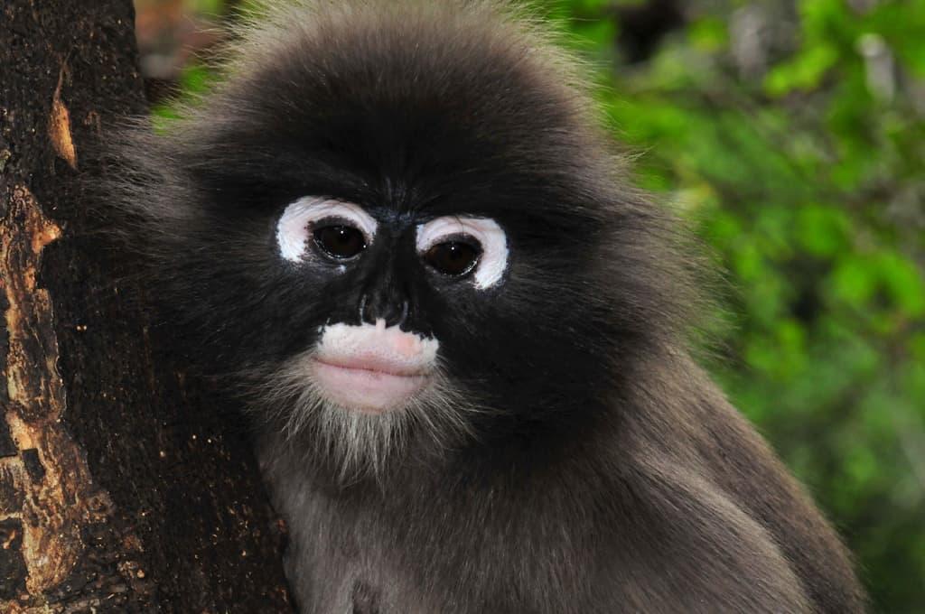 Dusky Monkey