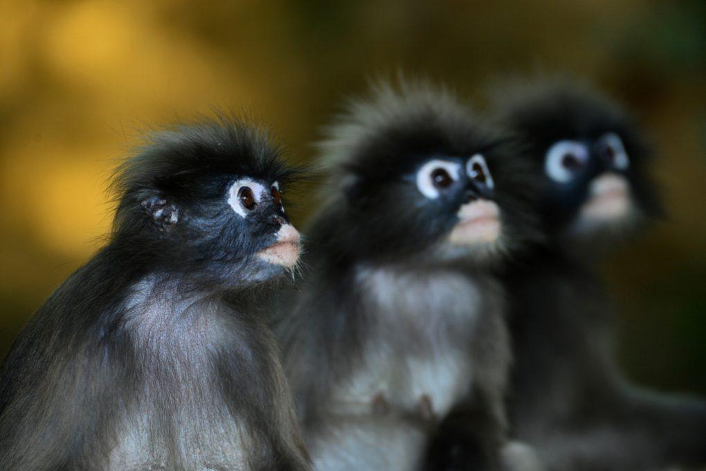 Dusky Monkey trio