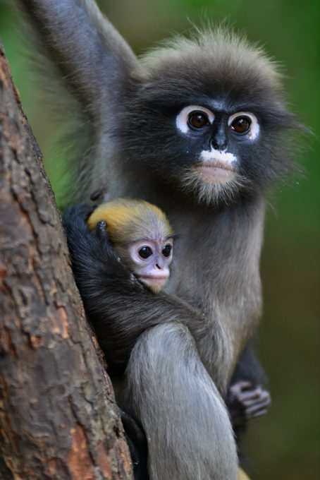 Dusky Monkeys Thailand