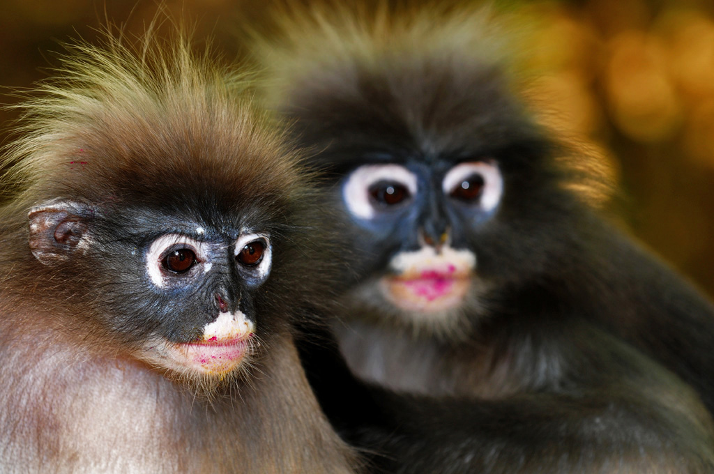 Dusky Monkeys after eating dragon fruit