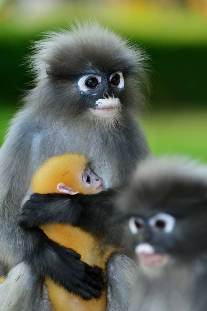 Dusky Monkeys