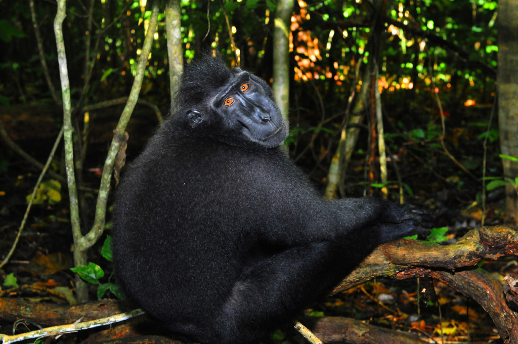 Endangered Black Macaque