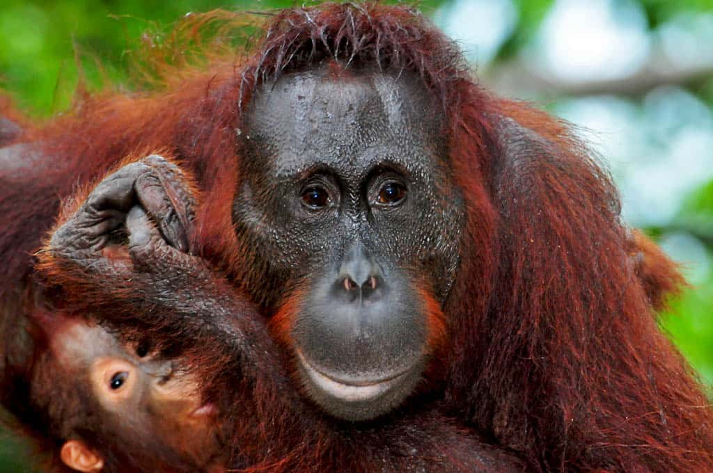 Orangutans Gina and Gam at Camp Leakey Borneo