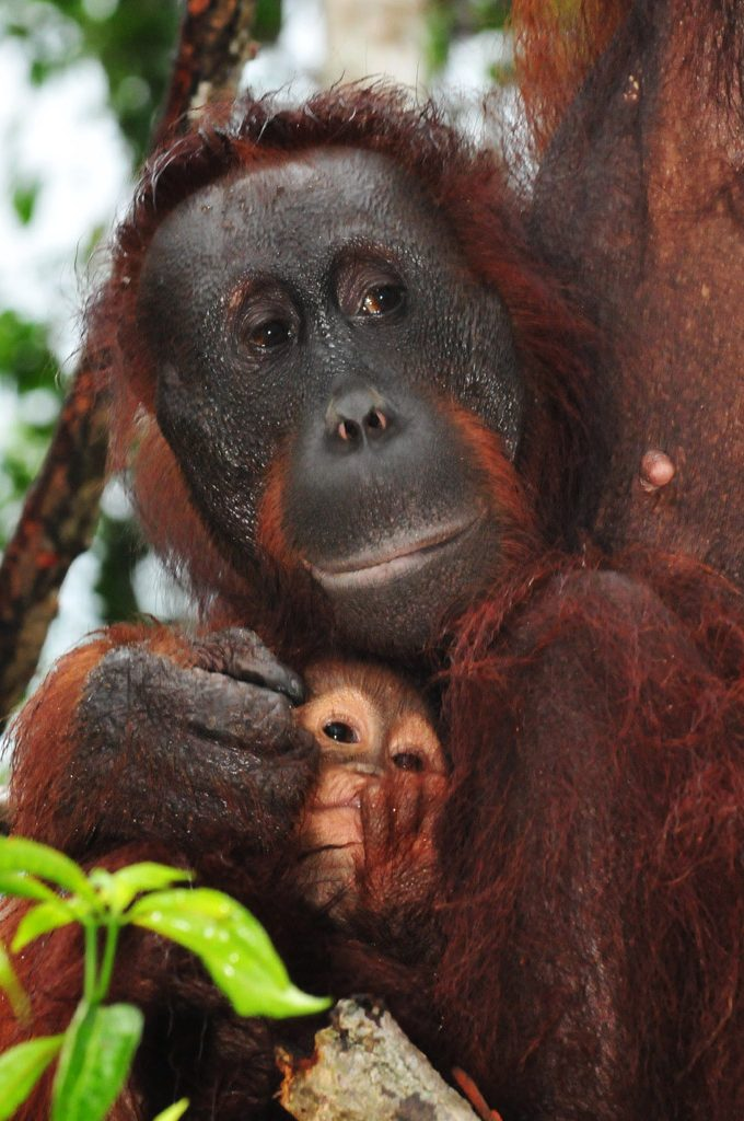 Orangutan Gina and baby Gam