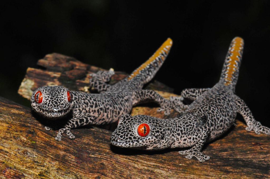 Golden Tailed Geckos