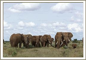 Orphan Elephant with a herd of bulls.