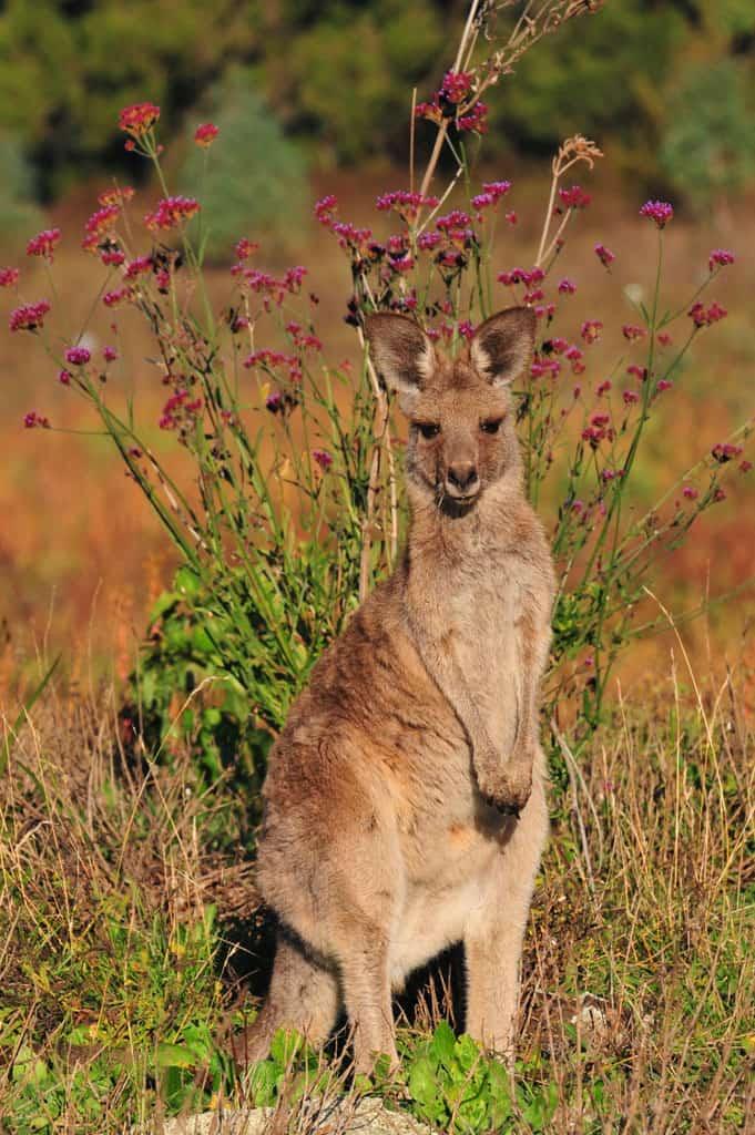Kangaroo at Warrumbungles National Park