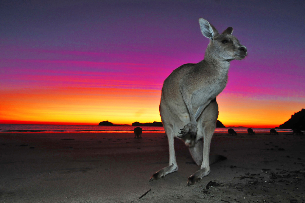Kangaroo at sunrise at Cape Hillsborough