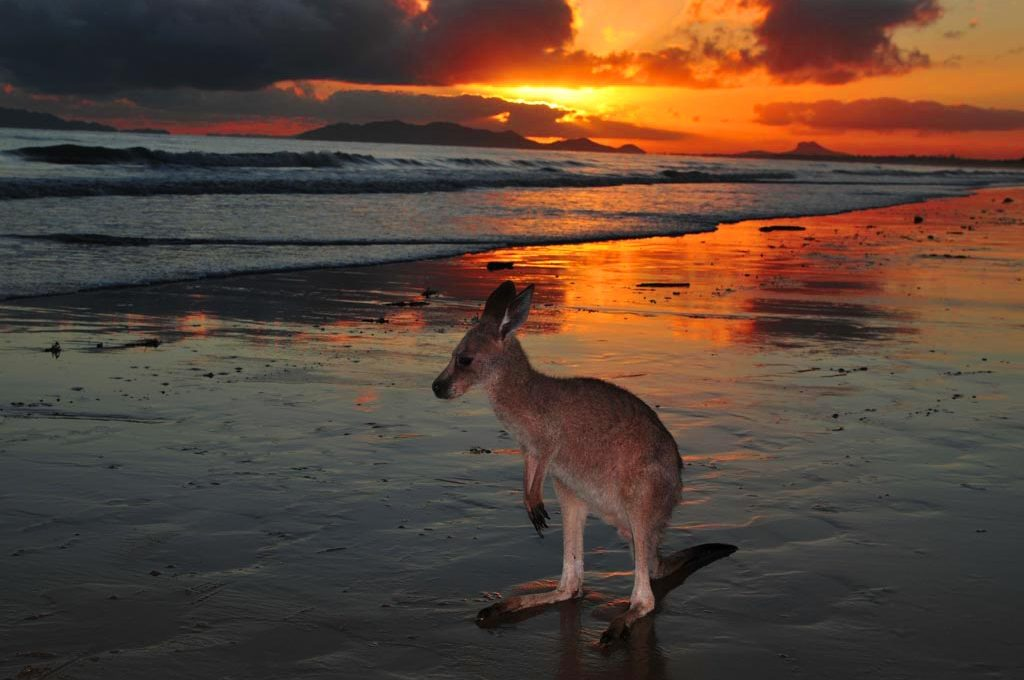 Kangaroo at sunrise