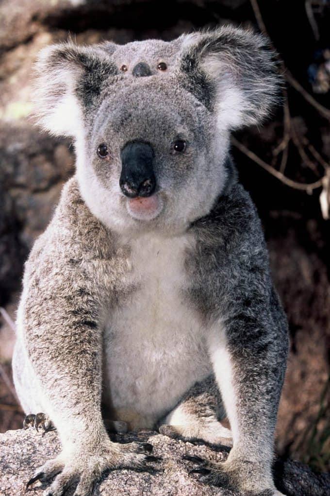 Koala and baby on Magnetic Island