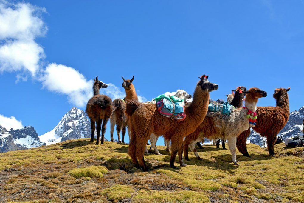 Llamas on Lares trek