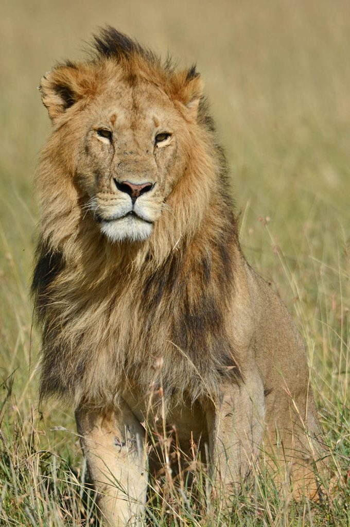 Lion at the Masai Mara