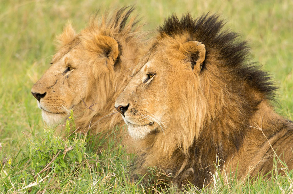Lion brothers in the bachelor group at Masai Mara