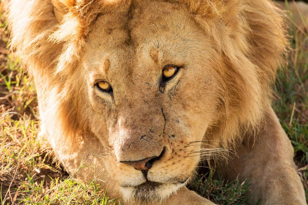 Lion from the bachelor group in Masai Mara